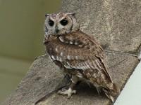 Abyssinian Eagle Owl (Custom)