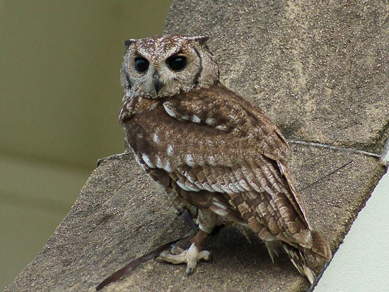 Abyssinian Eagle Owl