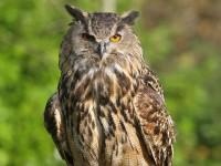 Bengal eagle owl (Custom)