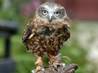 Boobook Owl (Custom)