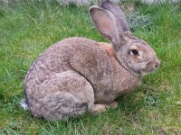 Continental Giant Rabbits (Custom)