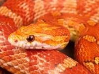 Corn_snake (Custom)