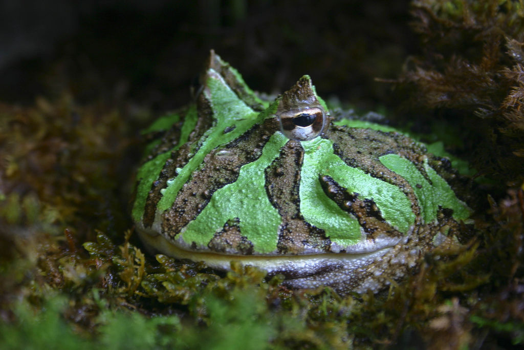 Ornate-horned-frog-Brian-Gratwicke