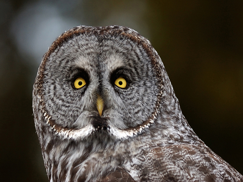 great-gray-owl (1)