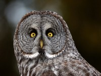 great-gray-owl (Custom)